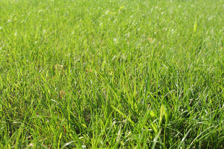 Green fresh grass texture for background photo