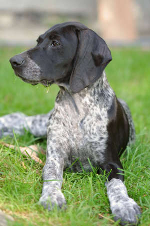 Young german shorthaired pointer puppy Stock Photo