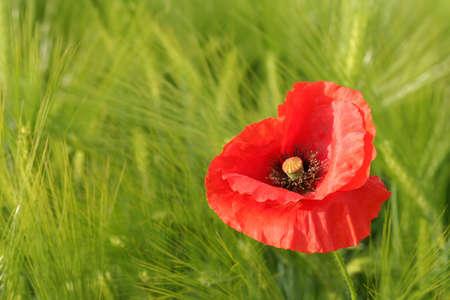 Red poppy on grain field