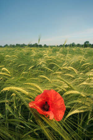 Red poppy on grain field photo