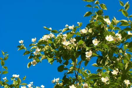 Beautiful jasmine Stock Photo