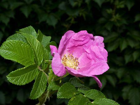 Rose wild boar