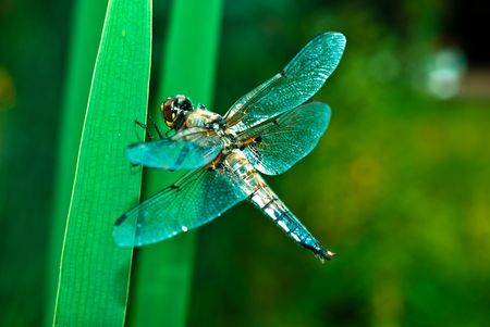 Beautiful and delicate insect - dragonfly.