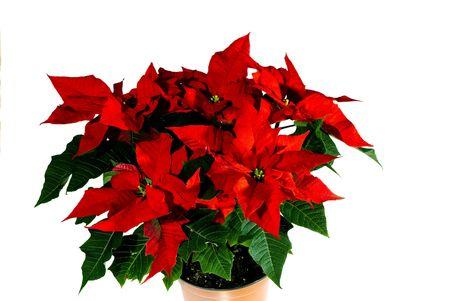 Flower the Star of Bethlehem