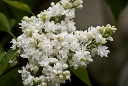 Flowers white lilac Stock Photo