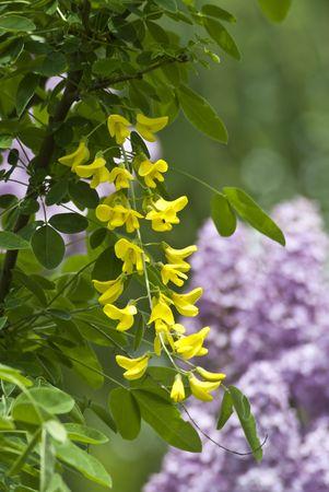 Acacia Flower photo