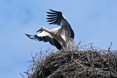 Who train the young stork flying photo