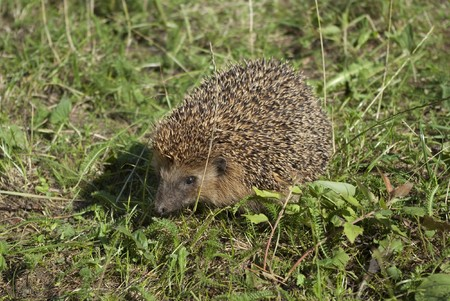 Hedgehog on a walk in the woods Stock Photo