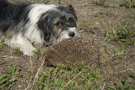 A hedgehog who is not afraid of the dog Stock Photo