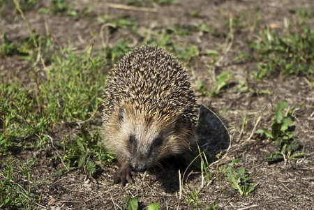 Hedgehog on a walk in the woods photo