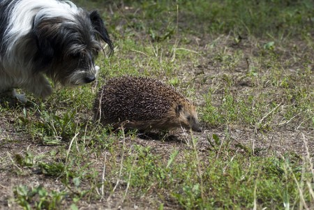 Dog and hedgehog for a walk Stock Photo - 7627233
