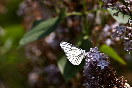 White butterfly on flowers lilac