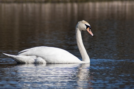 White Swan Stock Photo - 9351358