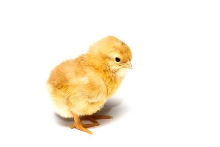 pollitos: polluelos de gallina