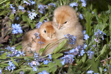 hen chicks