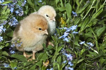 hen chicks photo