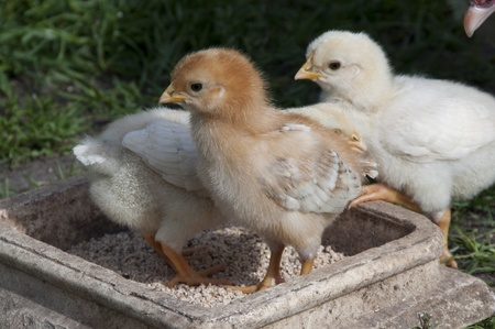 hen chicks