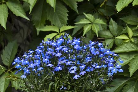 lobelia flowers Stock Photo