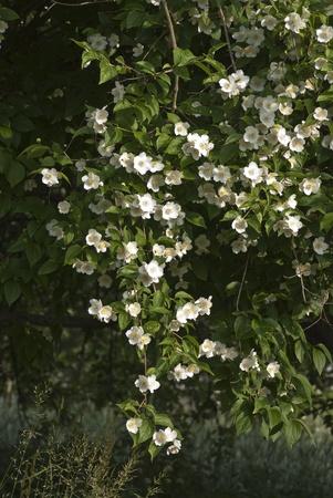 jasmine flower: fragrant jasmine flower