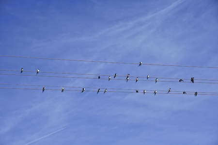 Swallows like the musical notes on paper