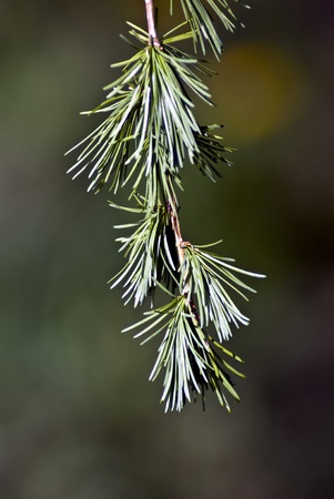 a sprig of juniper Stock Photo