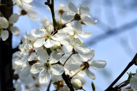 cherry blossoms Stock Photo - 13540285