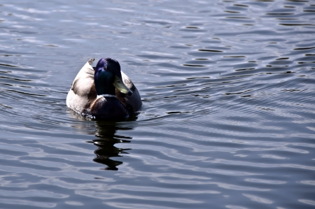 floating duck photo