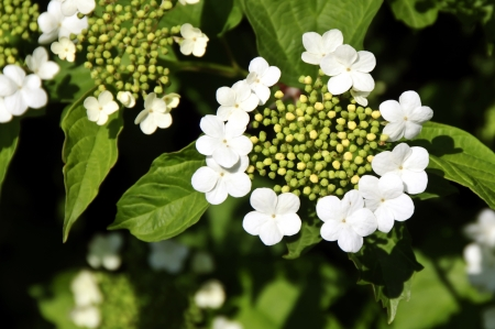 guelder: Guelder Rose (Viburnum opulus) Stock Photo