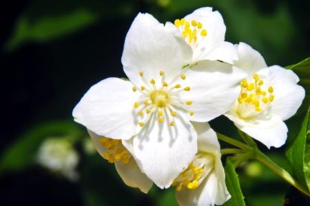jasmine flower Stock Photo - 13857307