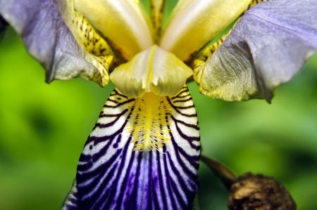 lily iris photo
