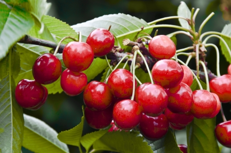 A large crop of sweet cherries photo