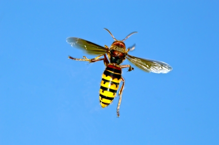 Wasp on a blue background photo