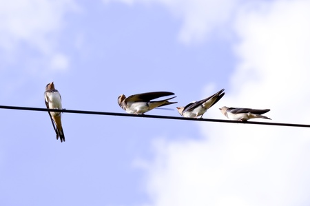 Young swallows on telephone lines Stock Photo