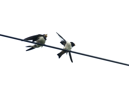 Young swallows on telephone lines photo