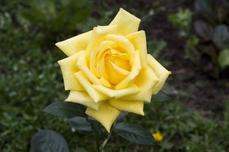 yellow rose in the garden Stock Photo