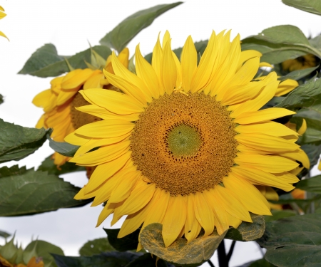 Sunflower as the sun, the rural area photo