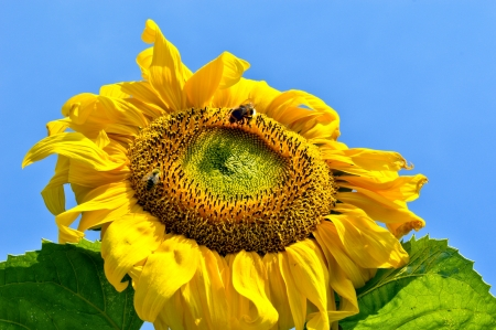 Sunflower as the sun, the rural area Stock Photo