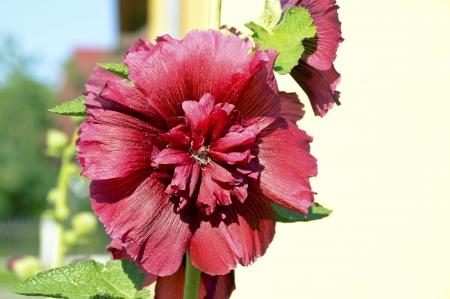 mallow flower Stock Photo