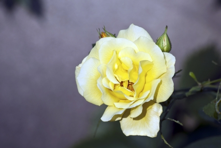 yellow rose in the garden Stock Photo