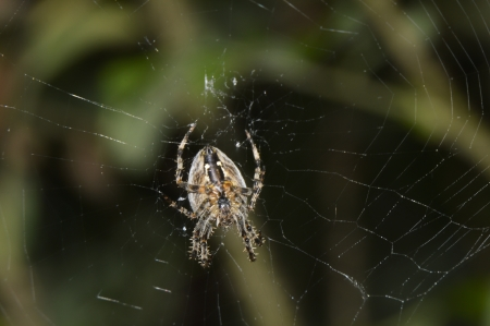 Hunting spider in its web