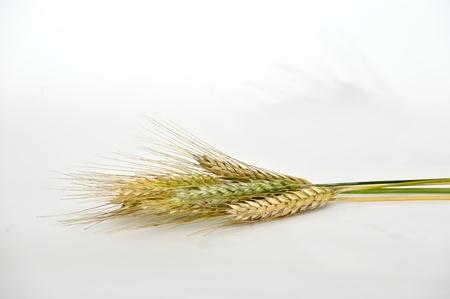 Ears of barley grain Stock Photo