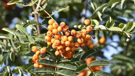 sorbus: Red rowan - fruit