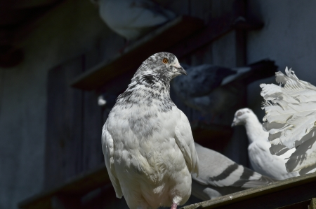 Pigeon on the roof photo