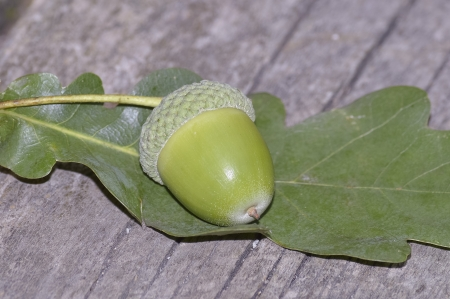 Acorn fruit of the oak Stock Photo