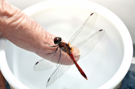 simplicicollis: Dragonfly on a white background