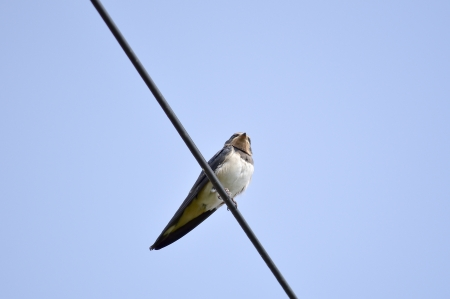 Swallows on the telephone cable photo