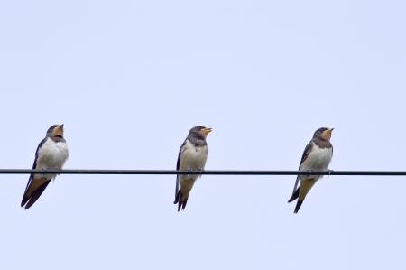 Swallows on the telephone cable Stock Photo