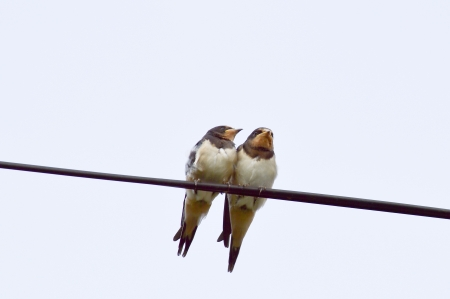 telephone cable: Swallows on the telephone cable Stock Photo