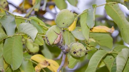 Maturing walnuts on the tree