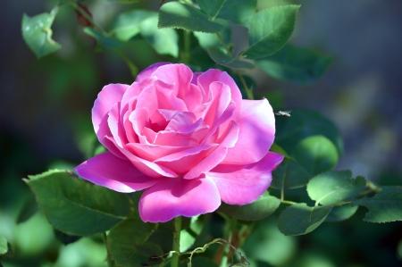 Beautiful Rose on a dark